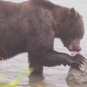 Grizzly beim Lachs Dinner